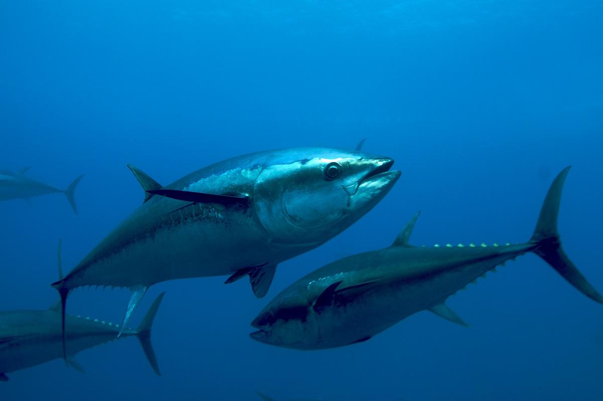 Atlantic Blue Fin Tuna