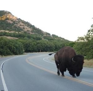 Bison in Wichita Moutains Wildlife Refuge