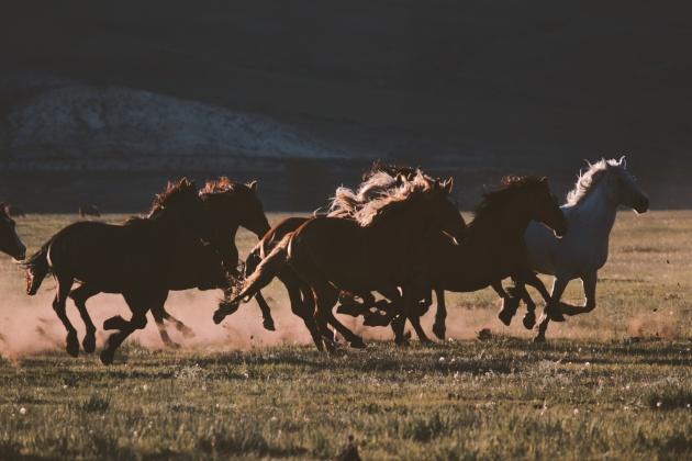 Wyoming stallions