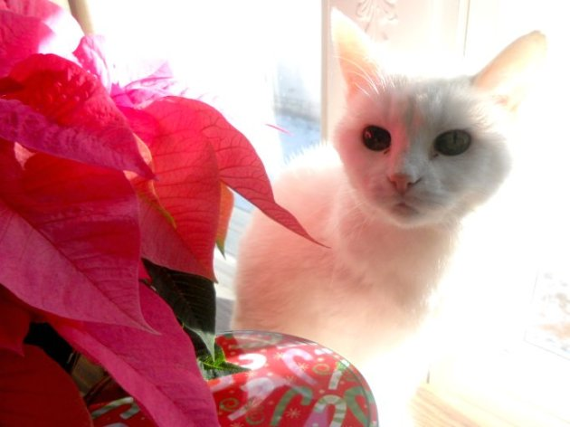 Kitty with poinsettias