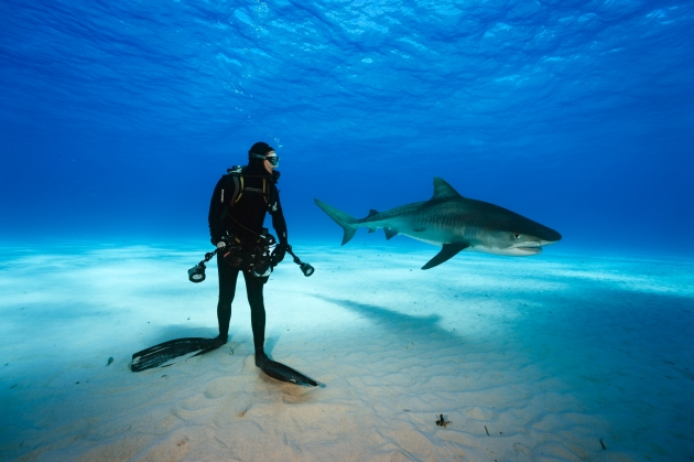Tiger shark swims past diver