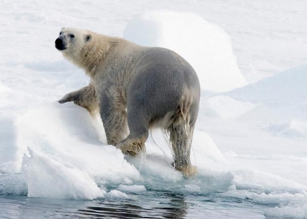 Polar bear near the North Pole