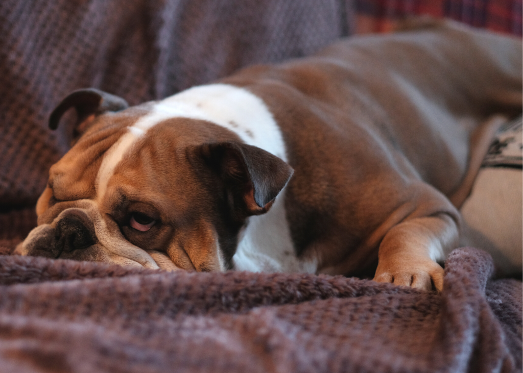 English Bulldog being lazy